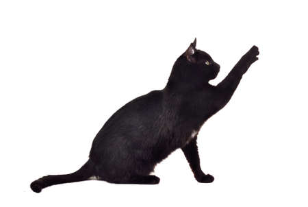 Black cat reaching up for toy and showing its claws isolated on white background
