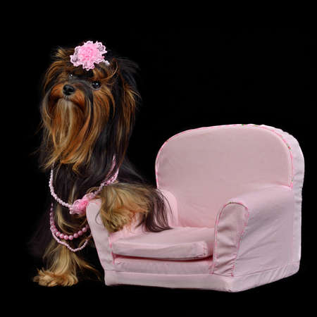 Glamour Yorkie dog among pink items isolated on black