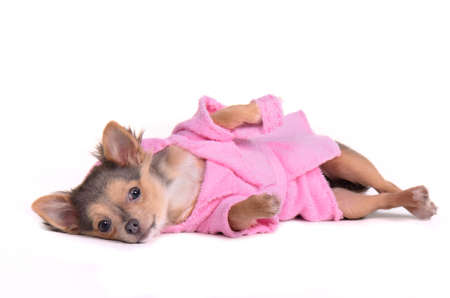 Relaxing chihuahua puppy after the bath wearing bathrobe and slippers, isolated on white background