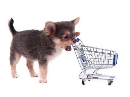 Chihuahua puppy biting a shopping cart