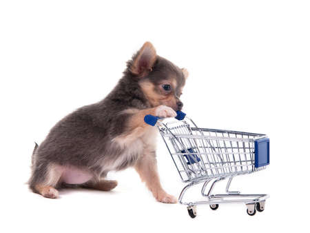 Tiny Chihuahua puppy playing with a supermarket cart