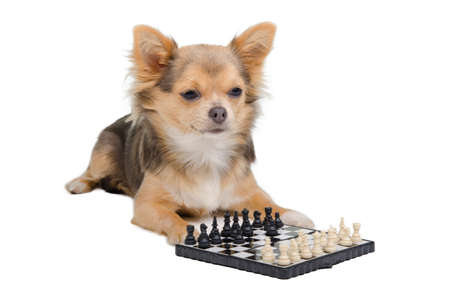Chihuahua puppy is playing chess