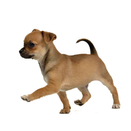 Running chihuahua puppy, isolated on white background