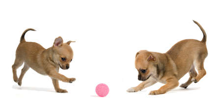 Two puppies playing ball, isolated on white background