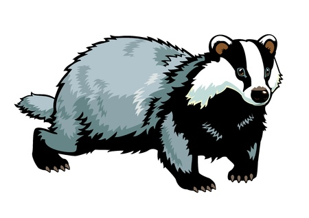 Eurasian badger picture isolated on white background