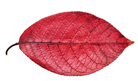 Fall red leaf isolated on white background