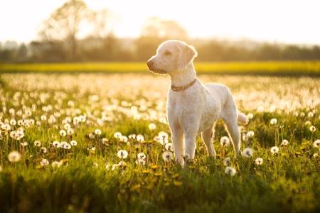Foto de Labradoodle dog in a field on dandelions on a summers day in England - Imagen libre de derechos
