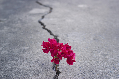 Photo pour red beautiful flower growing on crack street - image libre de droit