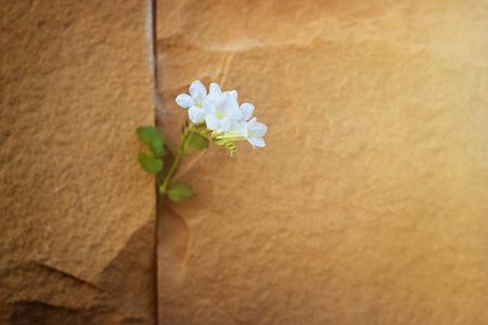Foto de white flower growing on crack stone wall, soft focus, warm color tone, blank text - Imagen libre de derechos