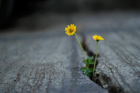 Foto de yellow flower growing on crack street, soft focus and dark background - Imagen libre de derechos