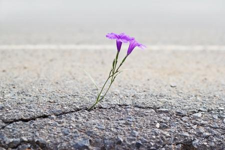 Foto de purple flower growing on crack street, soft focus - Imagen libre de derechos