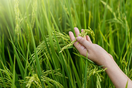 Photo pour Woman hand tenderly touching a young rice in the paddy field - image libre de droit