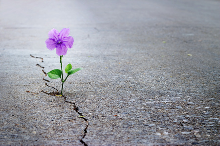 Photo pour Purple flower growing on crack street, soft focus, blank text - image libre de droit