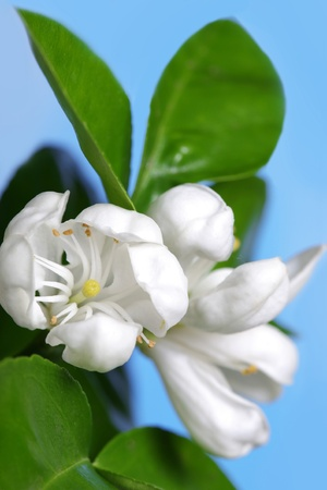 Photo for Orange tree blossom  - Royalty Free Image