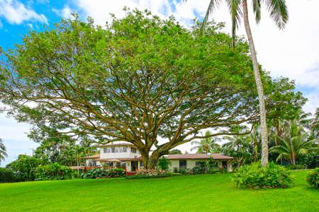 Foto de New Zealand giant tree with long branches in front of the house - Imagen libre de derechos