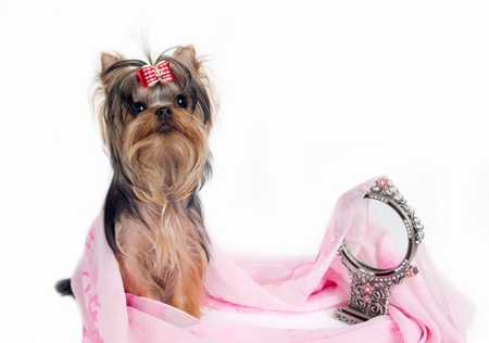 portrait of the yorkshire terrier and mirror