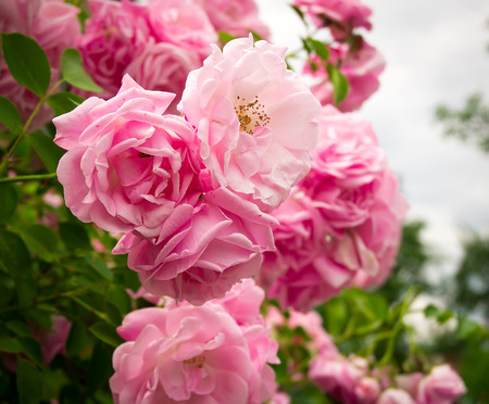Photo for Pink rose flowers on the rose bush in the garden in summer - Royalty Free Image