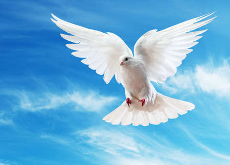 Photo for A free flying white dove isolated on a white background - Royalty Free Image