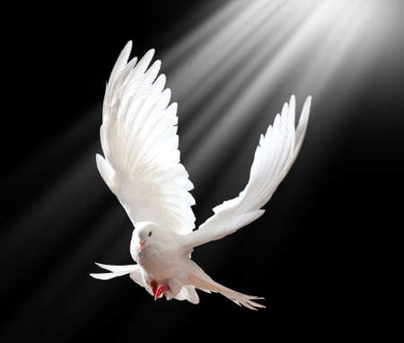 Photo pour A free flying white dove isolated on a black background - image libre de droit