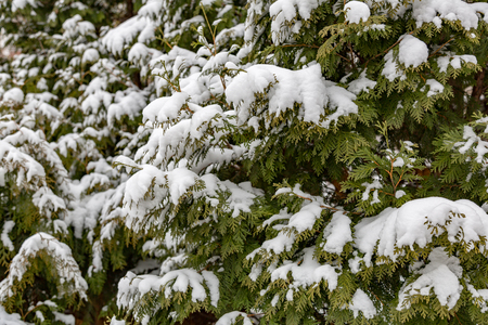 Photo for White snow covers an evergreen coniferous tree - Royalty Free Image