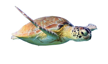 Foto de Green Sea Turtle isolated on white background - Imagen libre de derechos