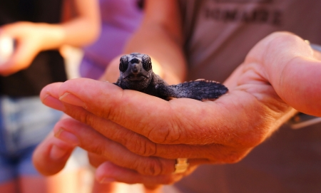 Photo for sea turtle conservasionist holding hatchling - Royalty Free Image