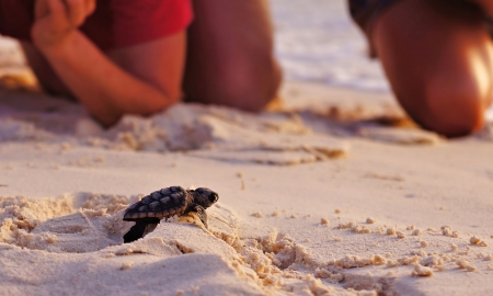 Photo for watching baby sea turtle hatchling on the beach - Royalty Free Image
