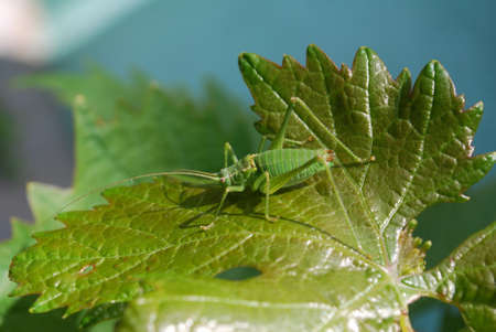 Green grasshopper sitting on a sheet of currant in the garden. Pests of cultivated plants