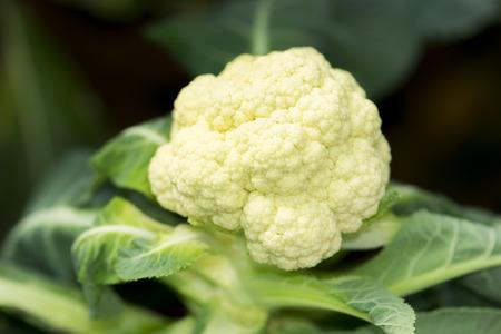 Photo pour fresh cauliflower in the vegetable garden - image libre de droit