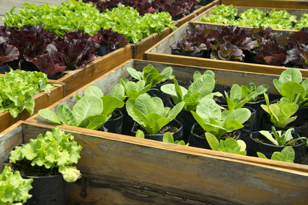 Photo for Fresh lettuce growing in Raised Beds - Royalty Free Image