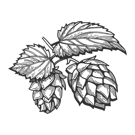 Illustration for Vector illustration of a hops with leaves branch. Hand drawn vintage engraving style. - Royalty Free Image
