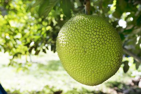 Photo pour Jackfruits On the Jackfruit tree in the garden - image libre de droit