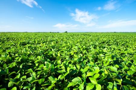 Photo pour Rural landscape with fresh green soy field  Soybean field - image libre de droit