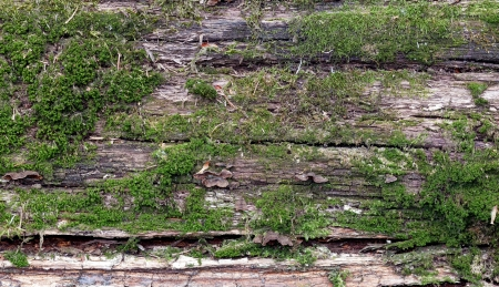 Photo for wood covered with moss  background - Royalty Free Image