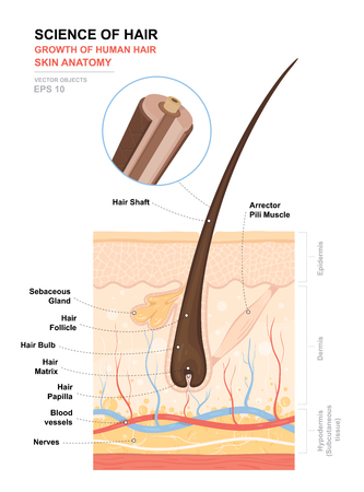 Illustration pour Anatomical training poster. Growth and structure of human hair. Skin and hair anatomy. Cross section of the skin layers. Detailed medical vector illustration. - image libre de droit