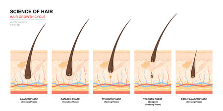 Illustration pour Anatomical training poster. Hair growth phase step by step. Stages of the hair growth cycle. Anagen, telogen, catagen. Skin anatomy. Cross section of the skin layers. Medical vector illustration. - image libre de droit