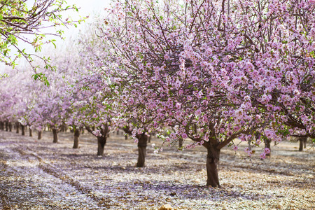 Foto de Alley of almond trees blossoming with pink flowers in sunshine before sunset - Imagen libre de derechos