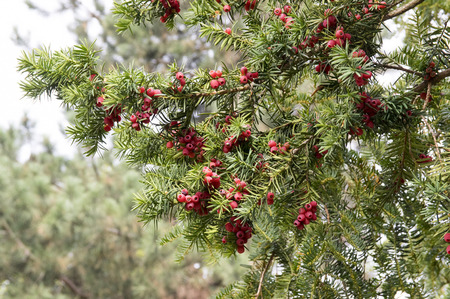 Photo for Taxus baccata, English yew, European yew, coniferous shrub with poisonous and bitter red ripened berry fruits - Royalty Free Image