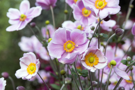 Photo for Anemone hupehensis japonica double flower, Chinese anemone, Japanese anemone, thimbleweed, windflowers in bloom - Royalty Free Image