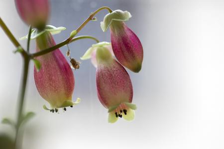Foto de Kalanchoe porphyrocalyx in bloom, succulent flowering plant with flowers bell shaped, pink and yellow flowers on stem - Imagen libre de derechos