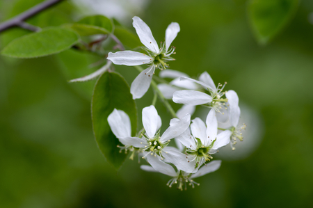 Photo for Amelanchier spicata tree in bloom, service berry white ornamental flowers and buds on branches - Royalty Free Image