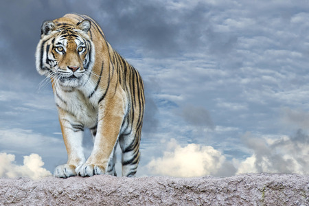 Siberian tiger ready to attack looking at you in the rocks background