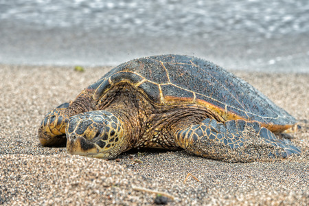 Photo for Green Turtle while relaxing on sandy beach in big island in Hawaii - Royalty Free Image