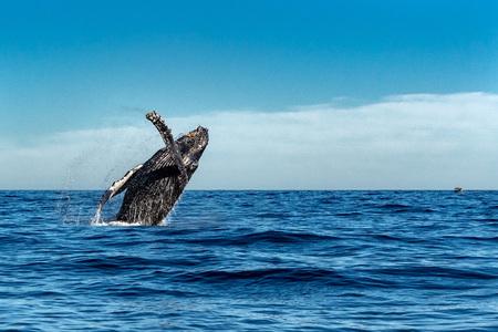 Photo pour humpback whale breaching on pacific ocean background - image libre de droit