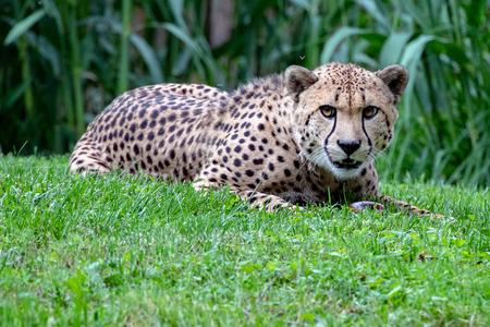 Photo pour Isolated Jaguar cheeta eyes portrait close up - image libre de droit