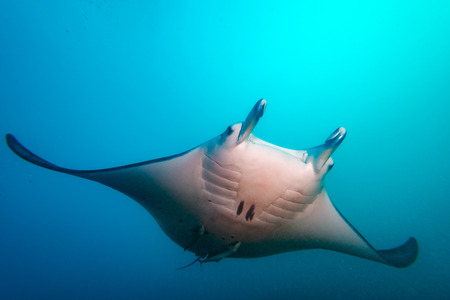 Photo pour Divingg with Manta in french polynesia Bora Bora - image libre de droit