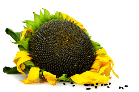 Photo for Ripe sunflower isolated on white background - Royalty Free Image