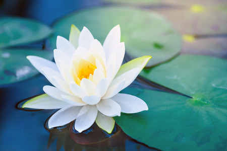 Photo for Beautiful White Lotus Flower with Green leaf in in blue pond - Royalty Free Image