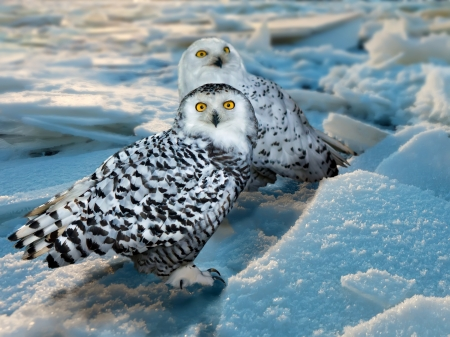 Photo for Snowy Owl (Bubo scandiacus) at ice area - Royalty Free Image