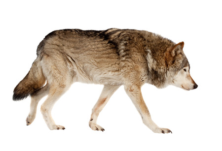 Photo for wolf. Isolated over white background  - Royalty Free Image
